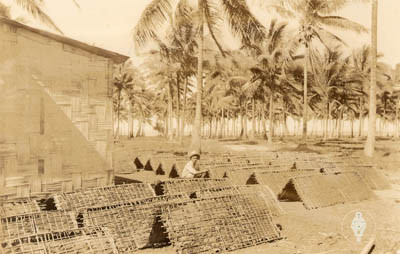 Préparation et séchage du tabac tahitien
