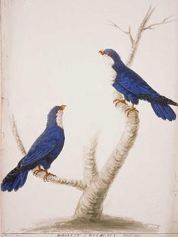 Lori bleu de Tahiti (1785)