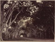 Allée de la Fautaua (1885)