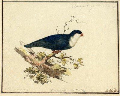 Lori bleu de Tahiti (1777)