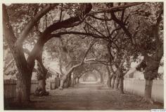 Rue de Papeete bordée d'arbres (1886)