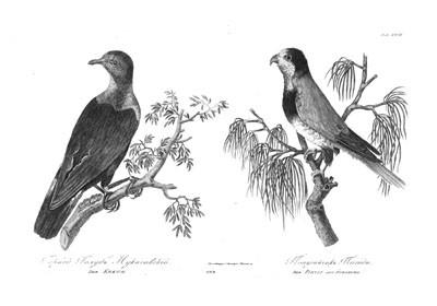 Der Kokuh und der Pihidi aus Nukahiwa (1814)