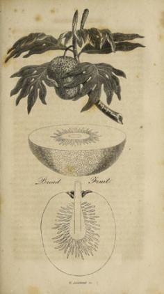 Bread fruit – Uru (1815)