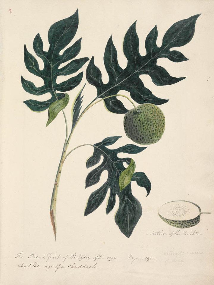 Le fruit de l'arbre à pain de Tahiti (1792)