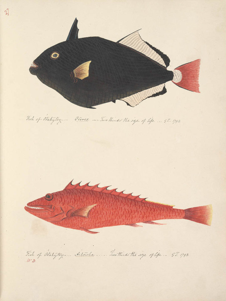 Poissons de Tahiti : Oeeree et Aihowha (1792)