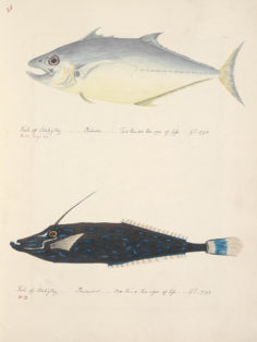 Poissons de Tahiti : Poarow & Parewow (1792)