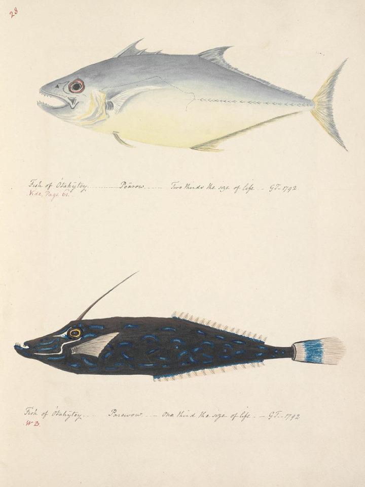 Poissons de Tahiti : Poarow & Parewow (1792)