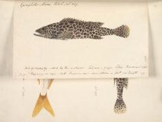 Loche rayon de miel (1792)