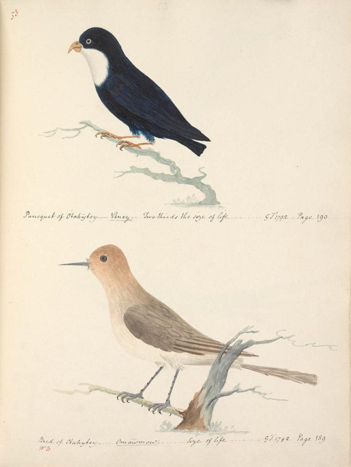 Oiseaux de Tahiti I (1792)