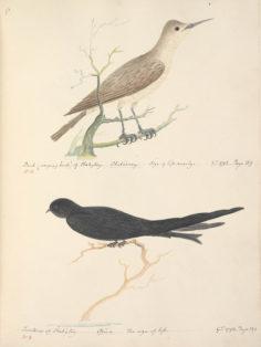 Oiseaux de Tahiti II (1792)