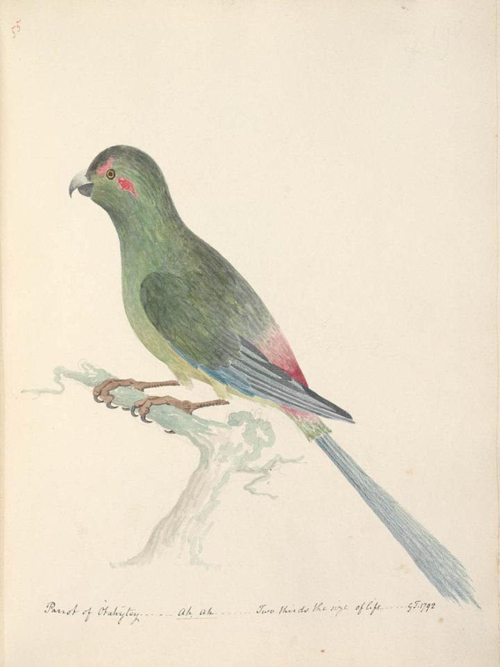 Perruche de Tahiti (1792)