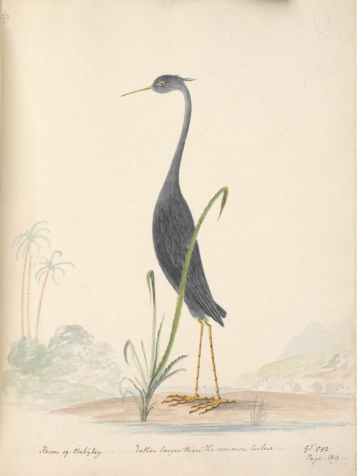 Héron de Tahiti (1792)