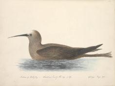 Noddie brun de Tahiti (1792)