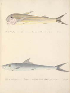 Poissons de Tahiti V (1792)