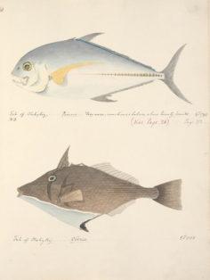 Poissons de Tahiti VI (1792)