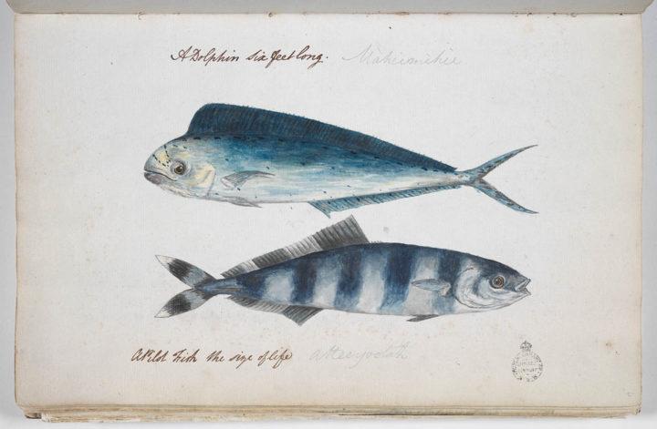 Mahi Mahi et poisson pilote (1791-1793)