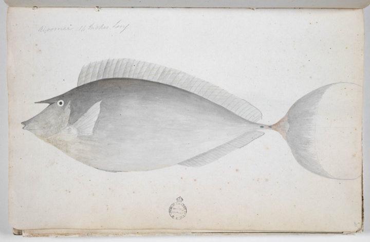 Nason à éperons bleus – Ume (1791-1793)