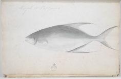 Paru Matavai – Carangue amoureuse (1791-1793)
