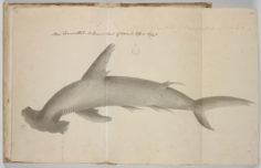 Requin-marteau – Ma'o taumata (1791-1793)