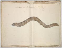 Murène ponctuée (1791-1793)