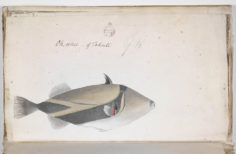 Poisson Picasso – Oiri Uouo (1791-1793)