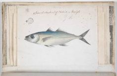 Chinchard – Ature (1791-1793)