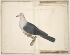 Carpophage de la Société (1791/1793)