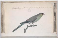 Perruche de Tahiti (1791-1793)