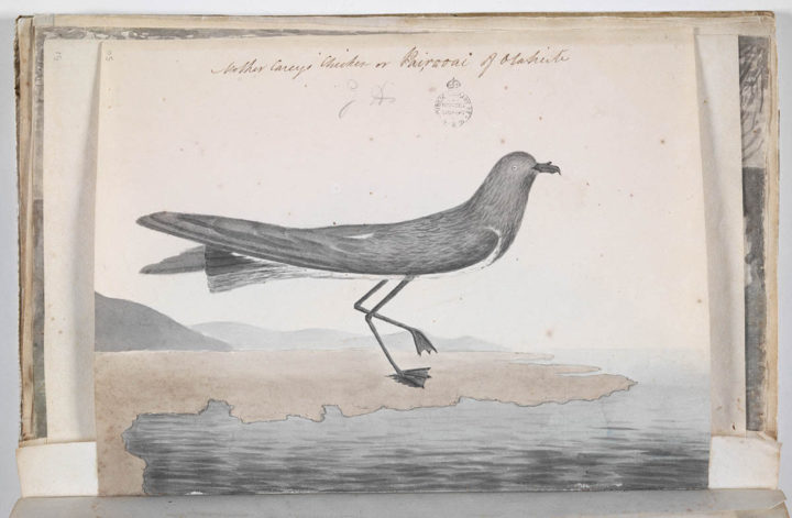 Pétrel de Tahiti (1791-1793)