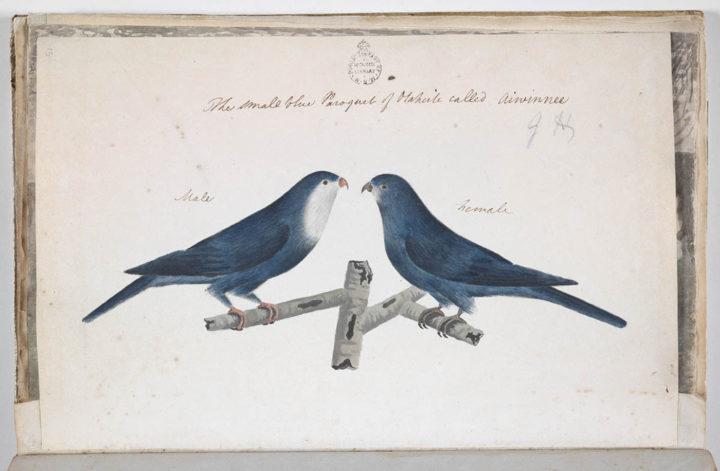 Lori bleu de Tahiti (1791-1793)