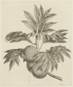 Fruits de l'arbre à pain (1784-1786)