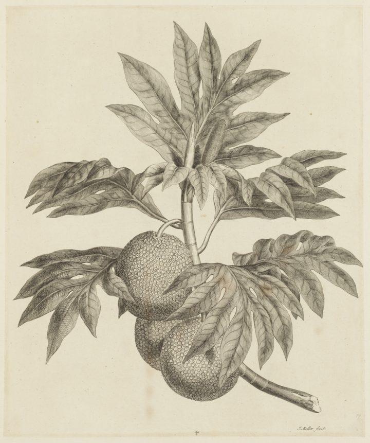 Fruits de l'arbre à pain (1784-1786)