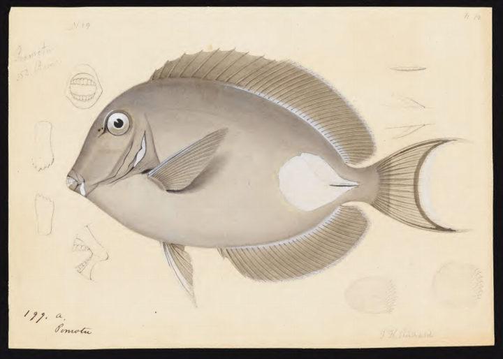 Dessins de poissons – Expédition américaine 1838-1842