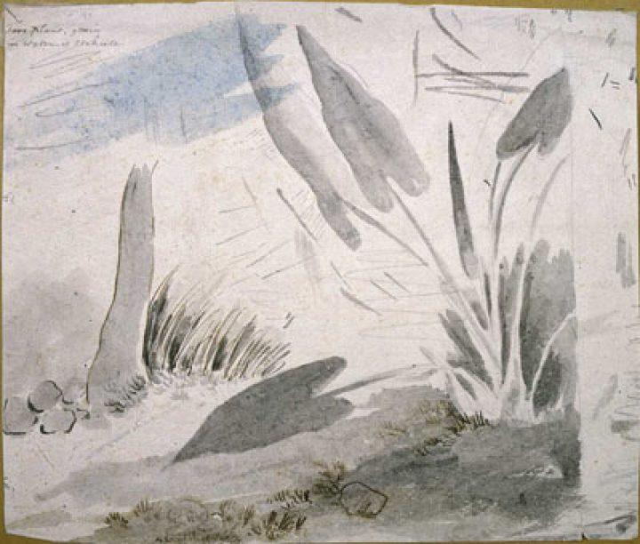 Plant de taro – William Webb Ellis (1785)